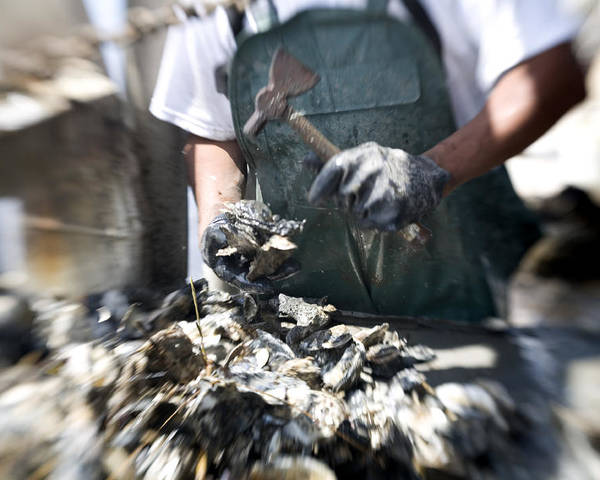 Day Poster featuring the photograph Fisherman Separating Clumps Of Oysters by Tyrone Turner