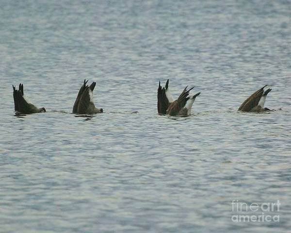 Goose Poster featuring the photograph Fishing by Nicole DeVita