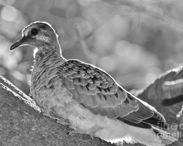 Mourning Dove Poster featuring the photograph Fledgeling In Oak Tree Bw by Lynda Dawson-Youngclaus