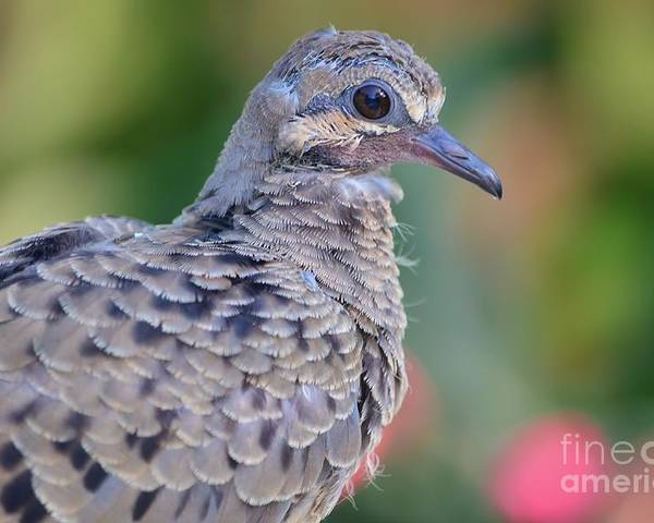 Mourning Dove Poster featuring the photograph Fledgeling by Lynda Dawson-Youngclaus