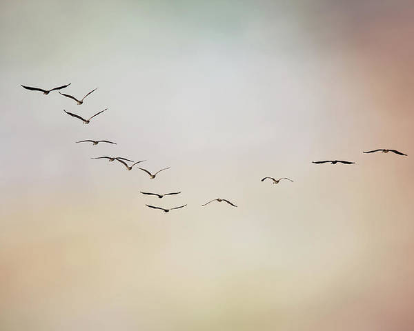 Horizontal Poster featuring the photograph Flight Of Pelicans by Daniela Duncan