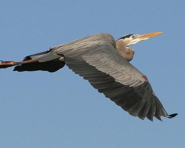 Birds Poster featuring the photograph Flight Of The Great Blue Heron by Myrna Bradshaw