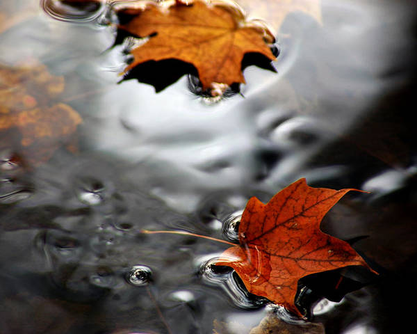 Usa Poster featuring the photograph Floating Maple Leaves by LeeAnn McLaneGoetz McLaneGoetzStudioLLCcom