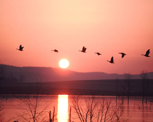 Geese Poster featuring the photograph Flock Of Canada Geese Flying by Ira Block