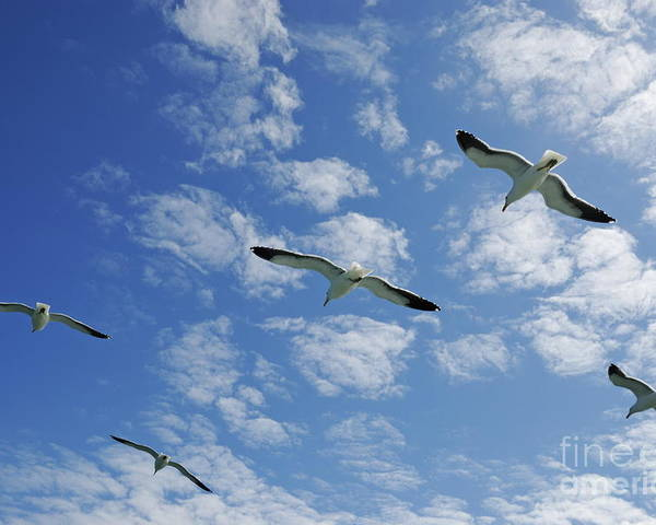 Freedom Poster featuring the photograph Flock Of Five Seagulls Flying In The Sky by Sami Sarkis