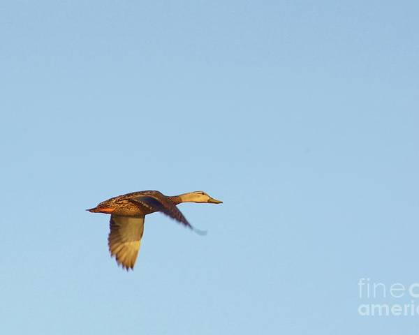 Mottled Duck Poster featuring the photograph Florida Flyer by Lynda Dawson-Youngclaus