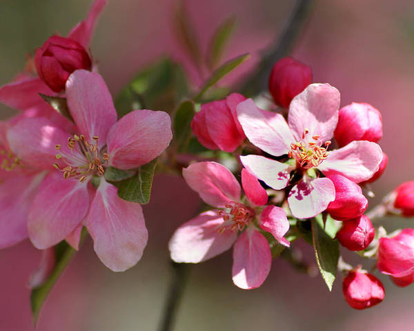 Flower Poster featuring the photograph Flowering Crabapple Detail by Mark J Seefeldt