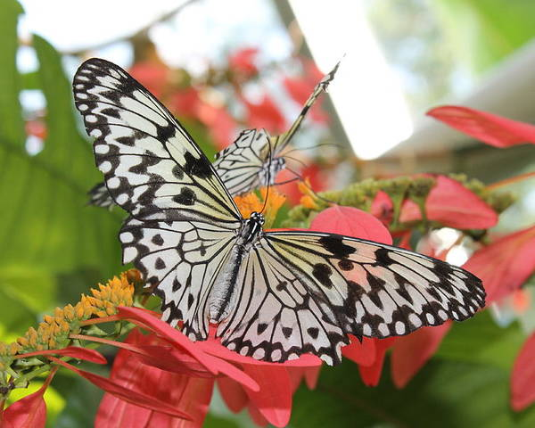 Butterfly Poster featuring the photograph Flutter by Jan Canavan