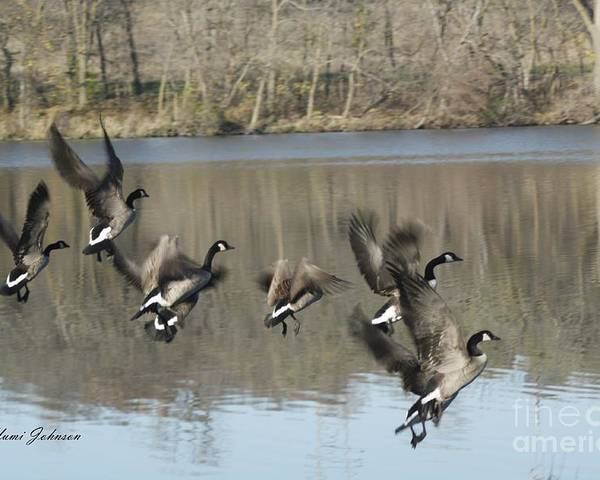 Geese Poster featuring the photograph Fly Off For Water by Yumi Johnson