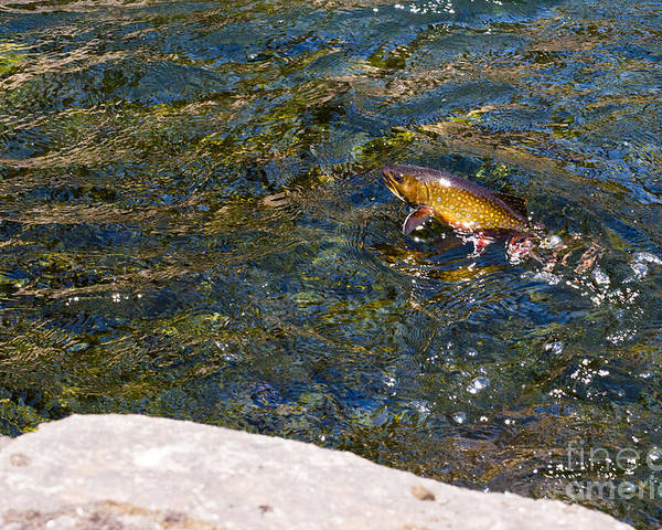 Brook Poster featuring the photograph Flying Brook Trout by Joseph Rossi
