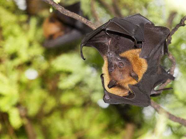 Halloween Poster featuring the photograph Flying Foxes by Anek Suwannaphoom