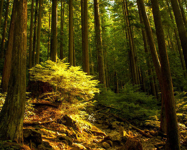 Vancouver Poster featuring the photograph Forest by Matt Trimble