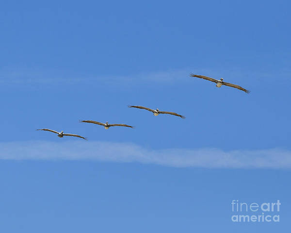Pelican Poster featuring the photograph Four Flyers by Al Powell Photography USA