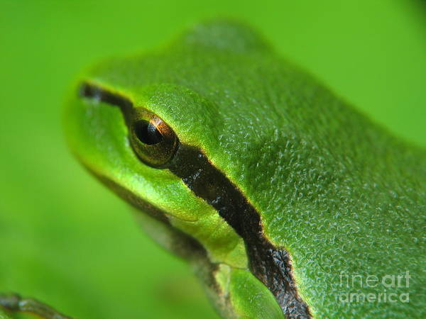 Nature Poster featuring the photograph Frog Look by Odon Czintos