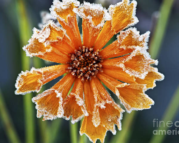 Flower Poster featuring the photograph Frosty Flower by Elena Elisseeva
