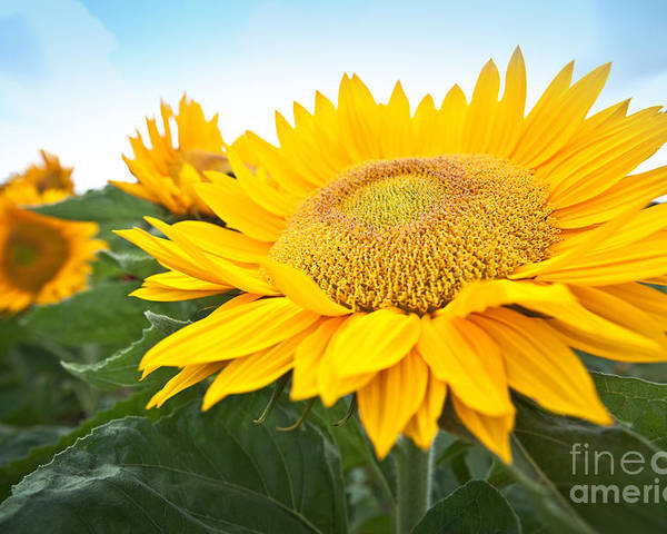 Agriculture Poster featuring the photograph Fun Sunflower by Juriah Mosin