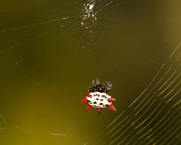 3732 Poster featuring the photograph Gasteracantha Elipsoides by Marx Broszio