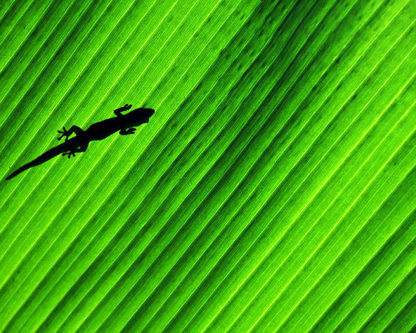 Gecko Poster featuring the photograph Gecko Silhouette by Brian Bonham