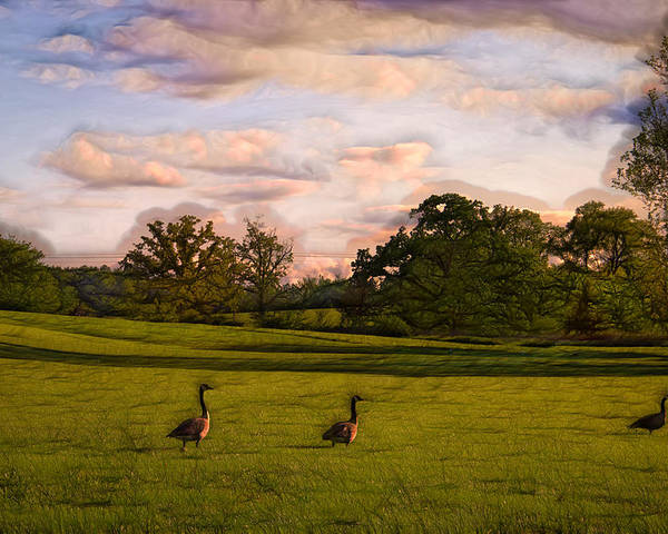 Geese Poster featuring the photograph Geese On Painted Green by Bill Tiepelman