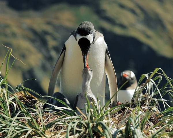 Gentoo Penguin Poster featuring the photograph Gentoo Penguin Feeding Chick by Charlotte Main