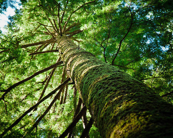 Horizontal Poster featuring the photograph Giant Spruce Tree Canopy by Christopher Kimmel