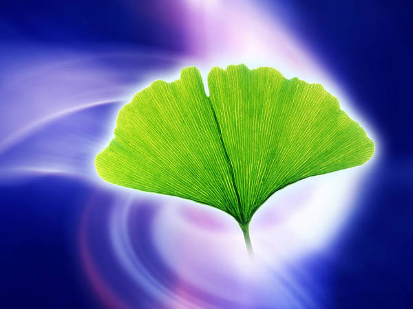 Ginkgo Biloba Poster featuring the photograph Ginkgo Leaf by Pasieka