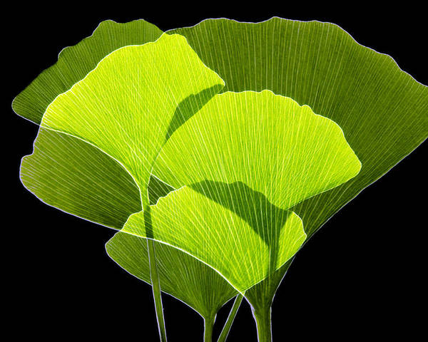 Ginkgo Biloba Poster featuring the photograph Ginkgo Leaves by Pasieka