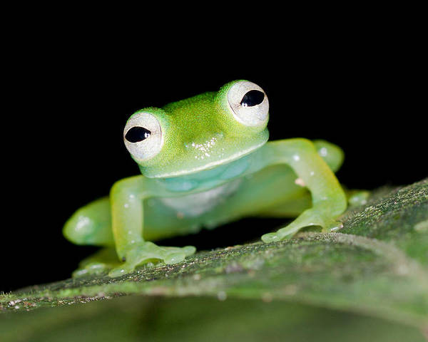 Frog Poster featuring the photograph Glass Frog 01 by Brian Lee