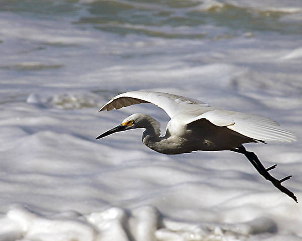 Egret Poster featuring the photograph Gliding Snowy Egret by Joe Schofield