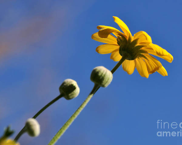 Photography Poster featuring the photograph Golden Daisy On Blue by Kaye Menner