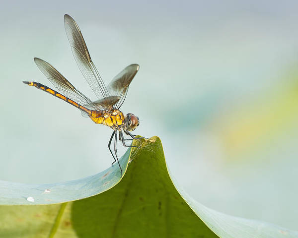 Golden Dragonfly Poster featuring the photograph Golden Dragonfly On Water Lily Leaf by Bonnie Barry