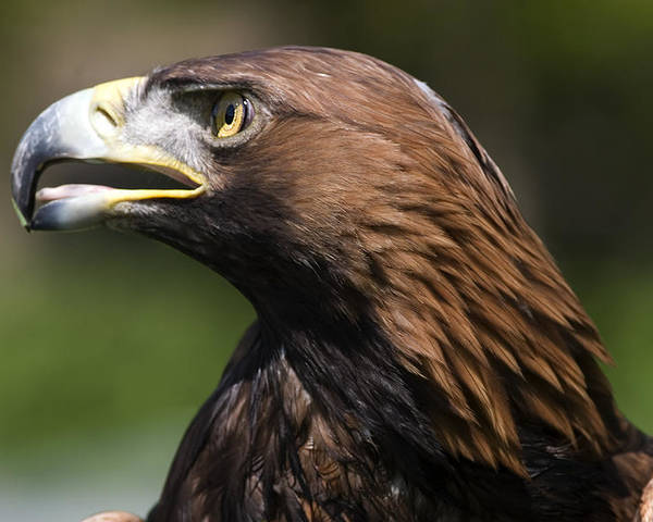 Golden Eagle Poster featuring the photograph Golden Eagle by Denise Swanson