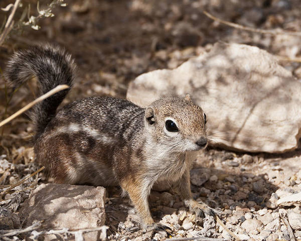 Red Rock Canyon Poster featuring the photograph Golden Mantled Squirrel by Daniel Milligan