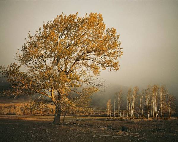 Yakima Valley Poster featuring the photograph Golden Sunlit Tree With Mist, Yakima by Sisse Brimberg
