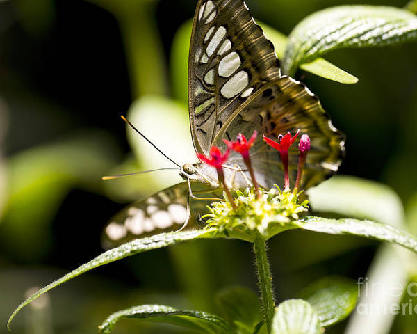 Butterfly Poster featuring the photograph Graceful by Leslie Leda