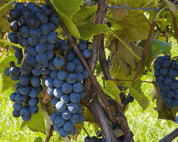 Blue Poster featuring the photograph Grapes On A Vine Sutton Junction Quebec by David Chapman