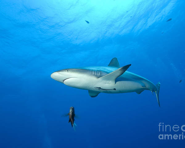English Reef Poster featuring the photograph Gray Reef Shark. Papua New Guinea by Steve Jones
