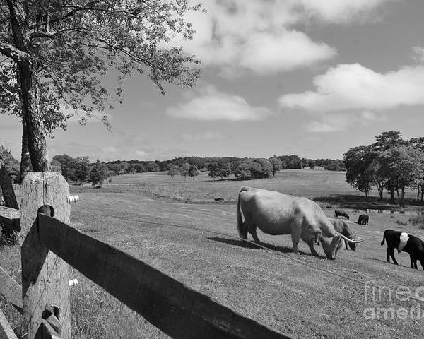 Cattle Poster featuring the photograph Grazing The Day Away by Catherine Reusch Daley
