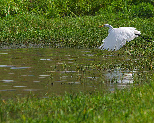 Bird Poster featuring the photograph Great Egret Takeoff 2 by Roy Williams