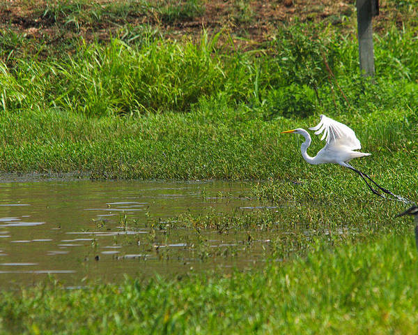 Bird Poster featuring the photograph Great Egret Takeoff by Roy Williams
