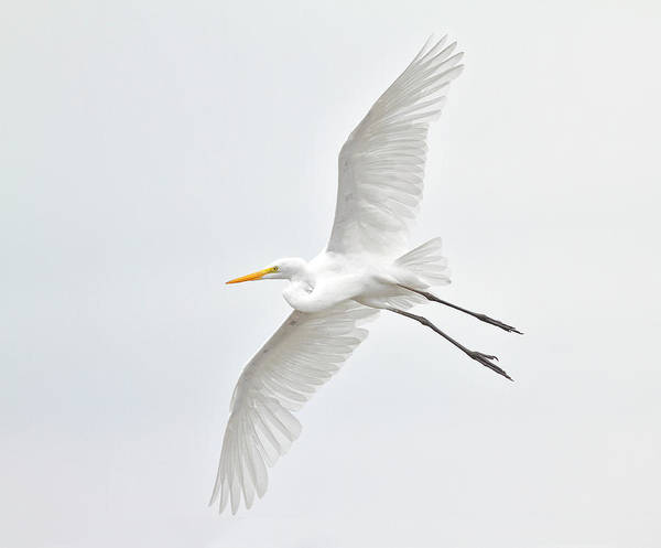 Horizontal Poster featuring the photograph Great Egret Taking Off by Bmse