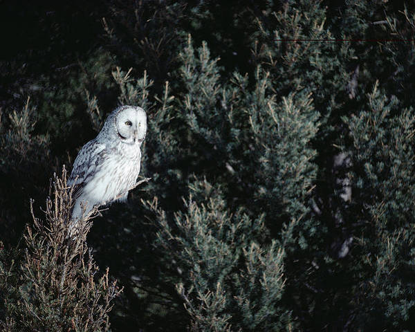 Mp Poster featuring the photograph Great Gray Owl Strix Nebulosa In Blonde by Michael Quinton