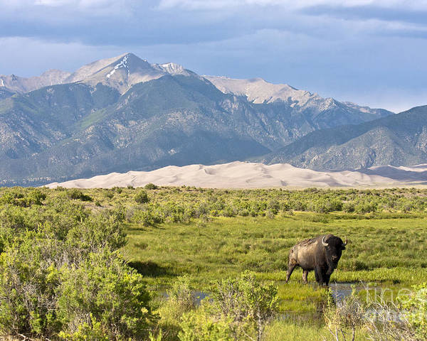 Bison Poster featuring the photograph Great Sand Dunes Bison by Scotts Scapes