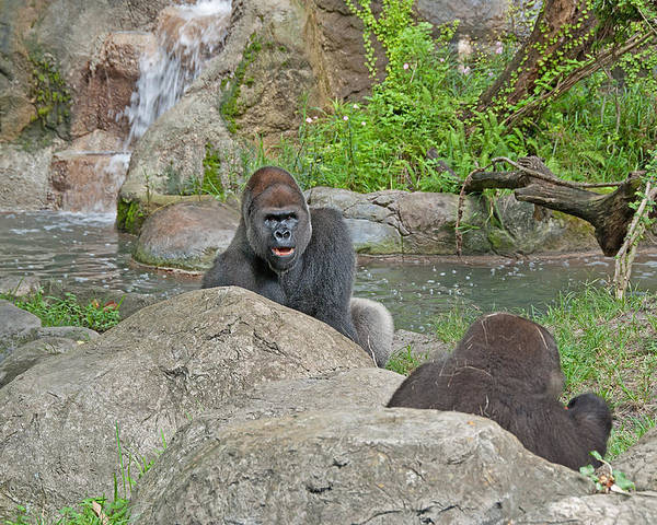 Gorilla Poster featuring the photograph Great Silverback by John Black