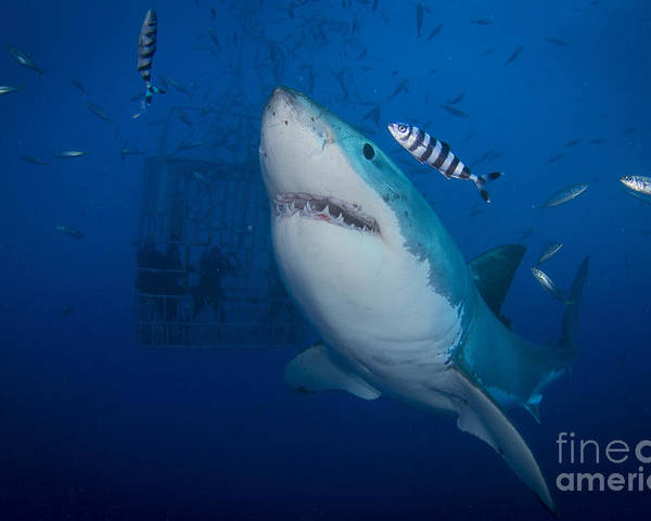 Carcharodon Carcharias Poster featuring the photograph Great White Shark And Pilot Fish by Todd Winner