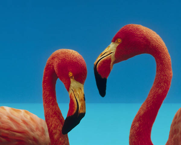 00172310 Poster featuring the photograph Greater Flamingo Courting Pair by Tim Fitzharris