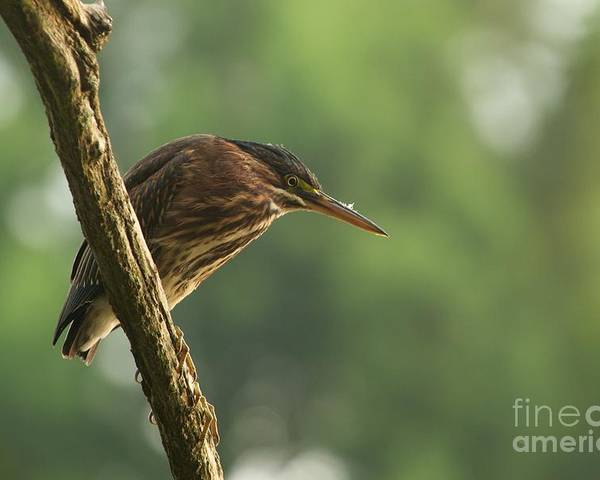 Miguel Poster featuring the photograph Green Heron by Miguel Celis