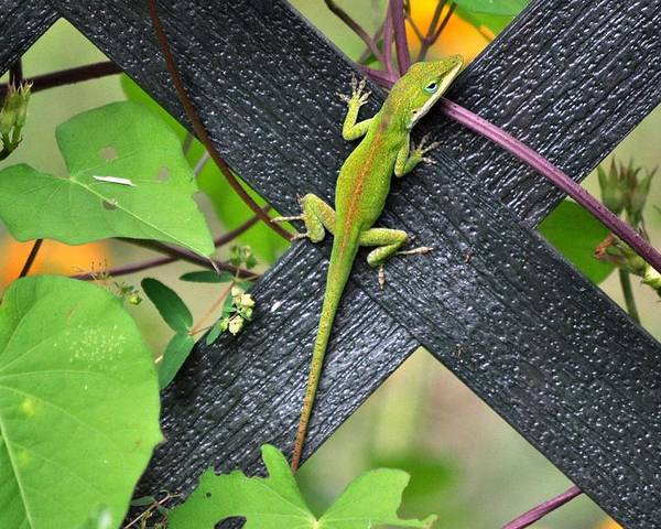 Lizard Poster featuring the photograph Green Lizard On Fence by Terri Albertson