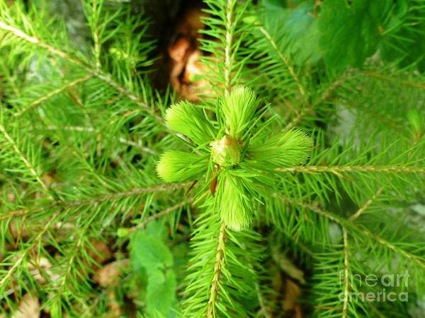 Gree Poster featuring the photograph Green Pine Needles 2 by AmaS Art