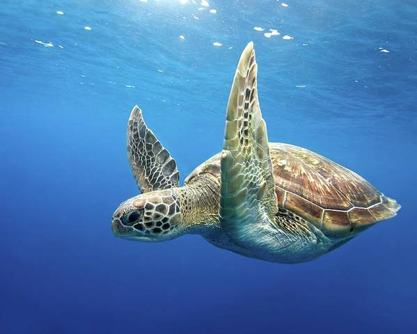 Horizontal Poster featuring the photograph Green Sea Turtle by James R.D. Scott